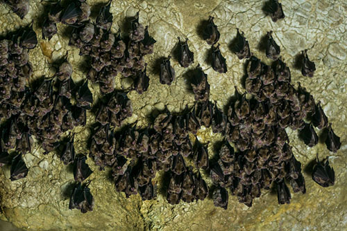 New Grants Awarded to Study White-nose Syndrome in Bats