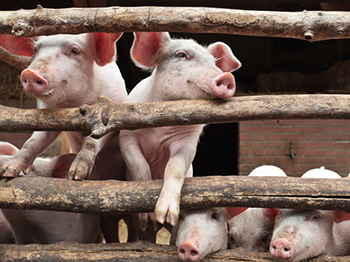 African Swine Fever Outbreak Hits Multiple Regions in China