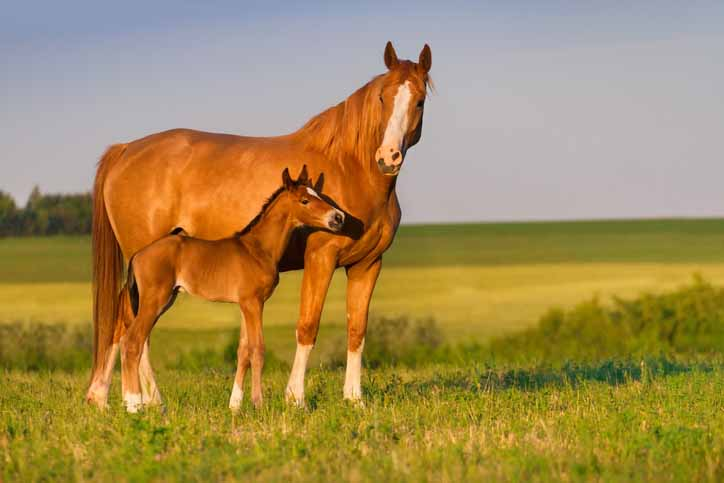 the treatment of premarin mares and foals essay And secondly, treatment of the pregnant mares is very cruel i am looking into how premarin is produced as who wants horses to suffer to relieve their symptoms.